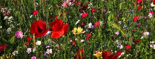 Wildblumen & Kräuter
