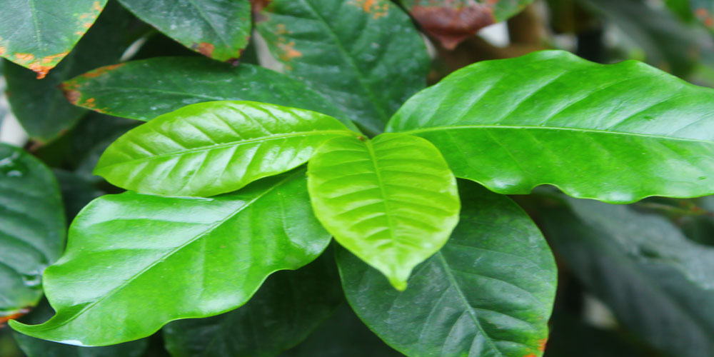 Coffea arabica, Coffee Plant