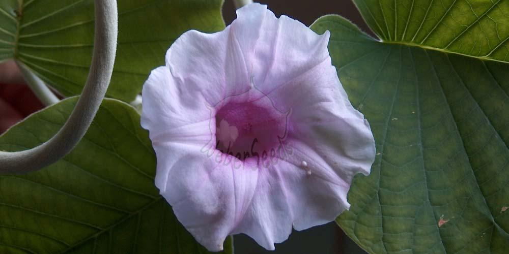 Argyreia nervosa, Hawaiian Baby Woodrose