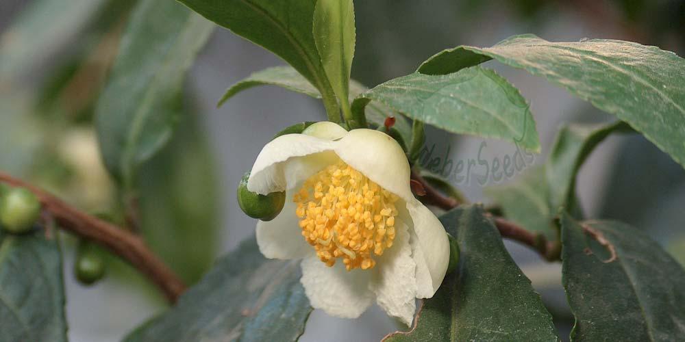 Camellia sinensis, Tea plant