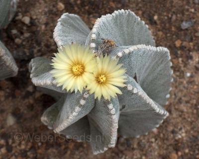 Astrophytum myriostigma, Bishops Cap Cactus