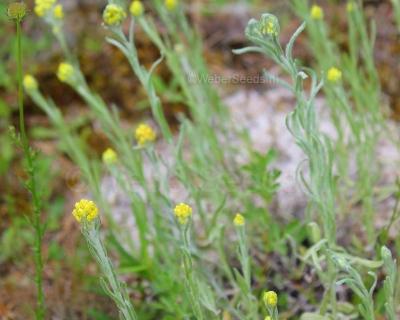 Helichrysum arenarium, Dwarf everlast