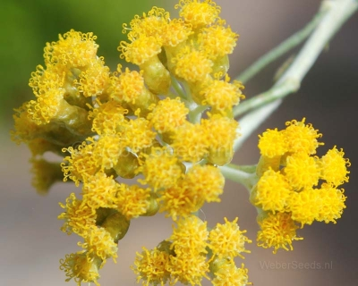 Helichrysum italicum, Italienische Immortelle