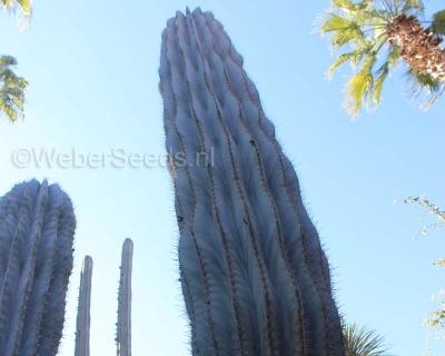 Pachycereus pecten-aboriginum, Cawé
