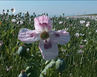 Papaver somniferum, Garden poppy