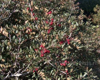 Pistacia lentiscus, Mastic tree