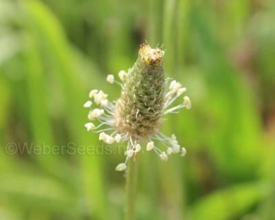 Plantago lanceolata, Narrowleaf plantain