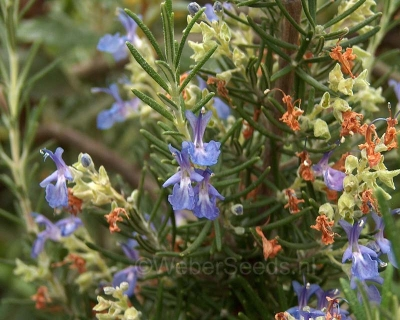 Rosmarinus officinalis, Rosemary