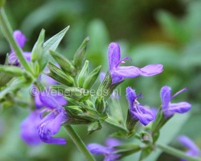 Salvia lavandulifolia, Spanischer Salbei