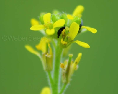 Sisymbrium officinale, Hedge mustard