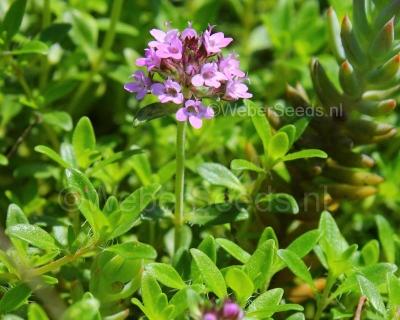 Thymus serpyllum, Breckland thyme