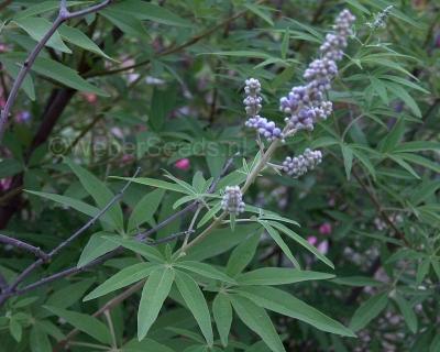 Vitex agnus-castus, Chaste Tree