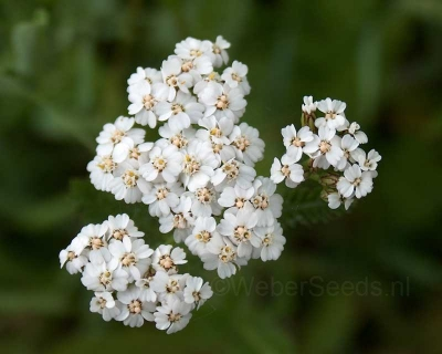 Achillea millefolium, Common yarrow