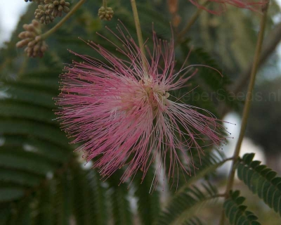Albizia julibrissin, Persian silk tree