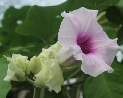 Argyreia nervosa, Hawaiian Baby Woodrose (Hawaiian strain)