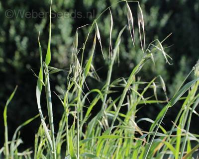 Avena fatua, Common wild oat