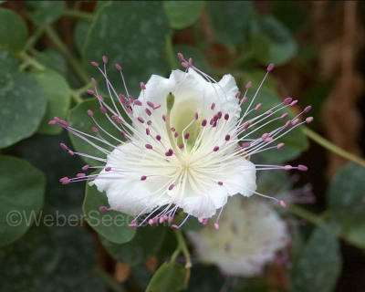 Capparis spinosa, Caper bush