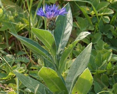 Centaurea montana, Perennial cornflower