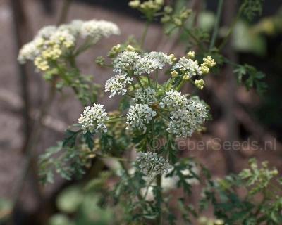 Conium maculatum, Poison Hemlock