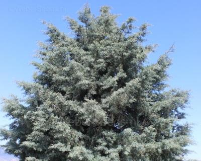 Cupressus arizonica, Arizona cypress