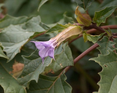 Datura stramonium, purple flowers