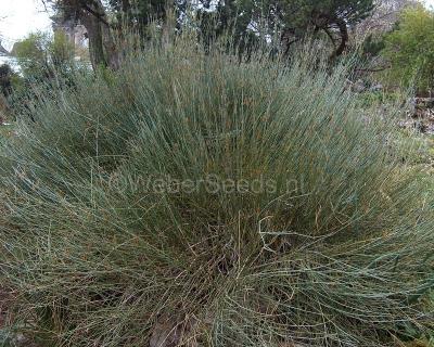 Ephedra intermedia, Ma huang zhong
