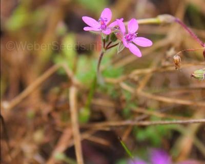 Erodium cicutarium, Redstem filaree