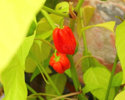 Capsicum chinense Habanero red