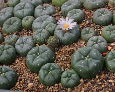 Lophophora williamsii Peyote planten