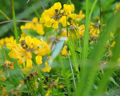 Lotus corniculatus, Birds-foot trefoil