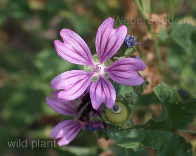 Malva sylvestris, Common mallow