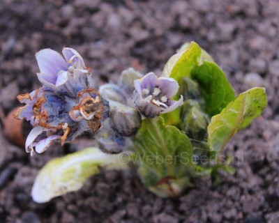 Mandragora officinarum, Mandrake