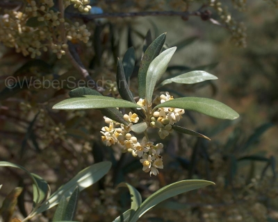 Olea europaea var. sylvestris, Wilde Olive