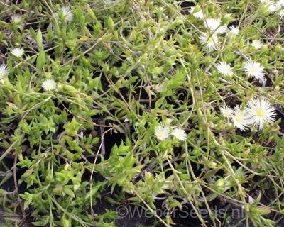 Sceletium tortuosum, Kanna plant