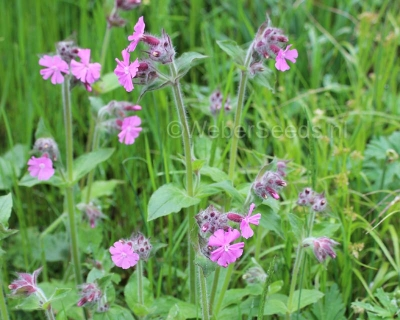 Silene dioica, Red campion