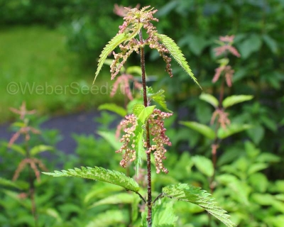 Urtica dioica, Common nettle