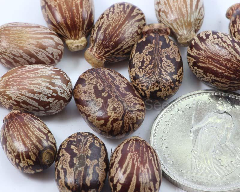 Ricinus Communis Castor Bean