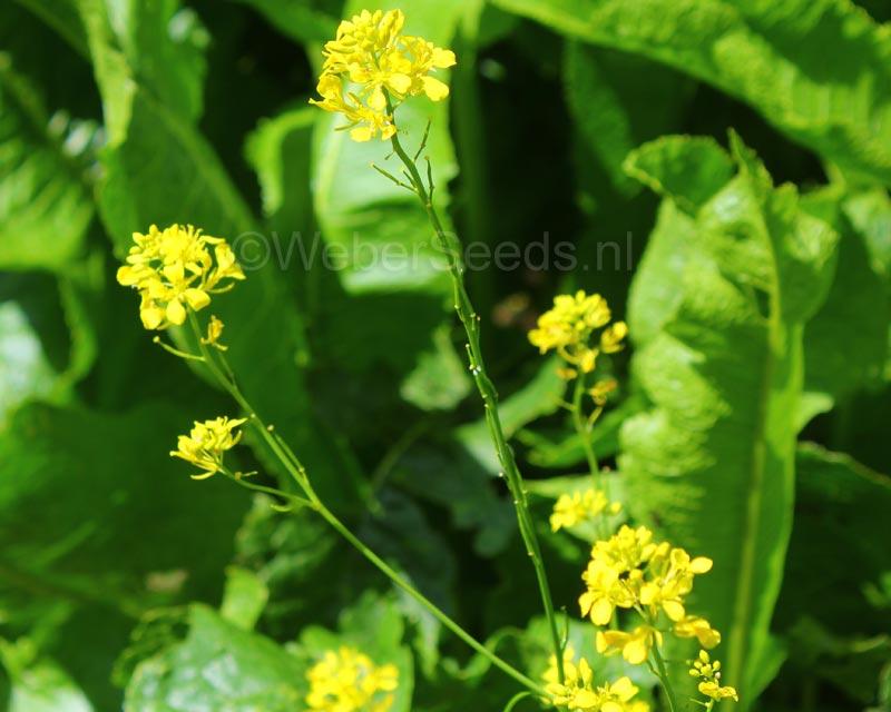 black yellow mustard