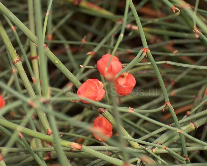 Ephedra sinica, Ma huang