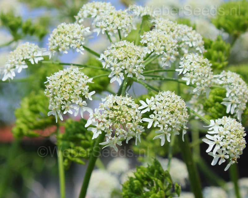 Heracleum sphondylium 10 seeds Perennial plant
