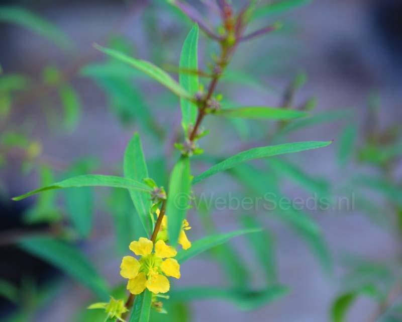 Heimia salicifolia, Shrubby yellowcrest