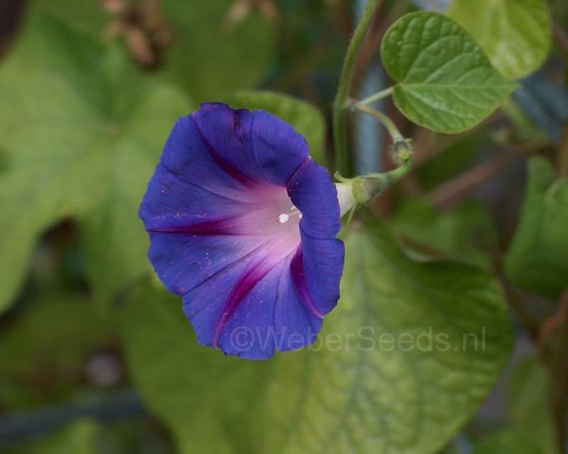 Ipomoea purpurea, Common Morning Glory