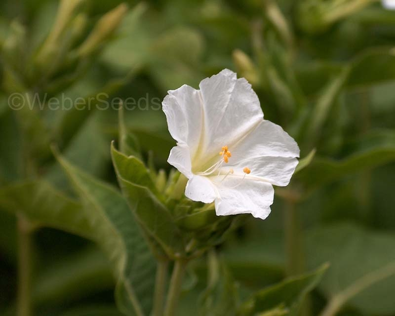 Mirabilis jalapa, Marvel of Peru