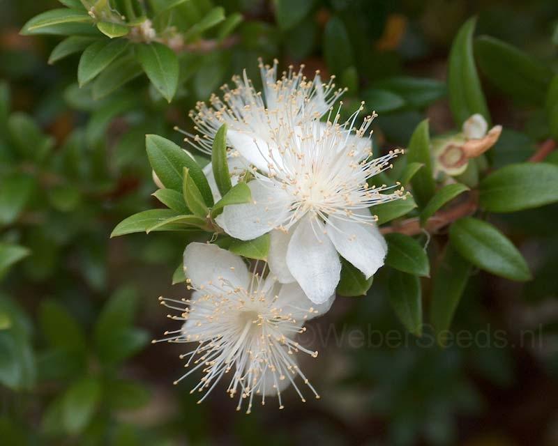 Myrtus communis, Brautmyrte