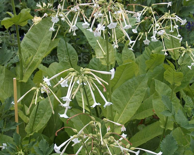 Nicotiana sylvestris, Mountain tobacco
