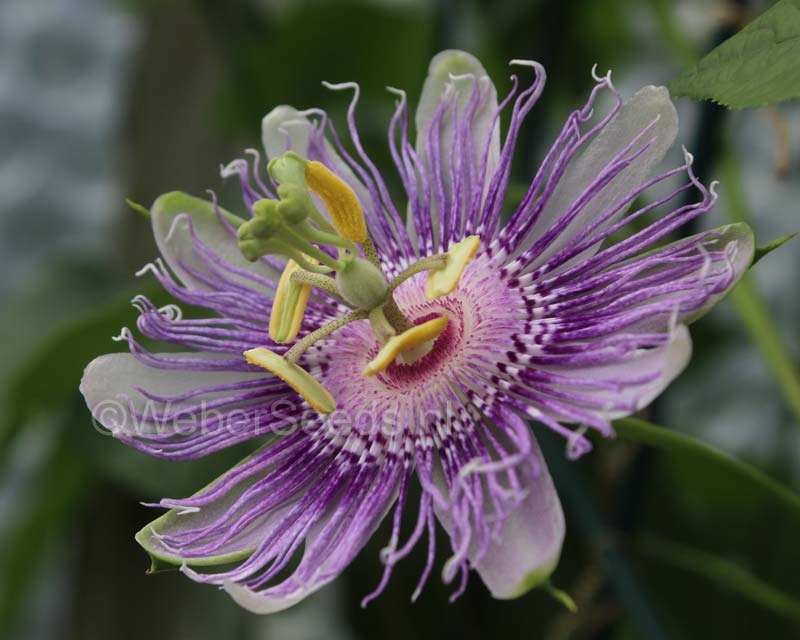 Passiflora incarnata, fleischfarbene Passionsblume Pflanze