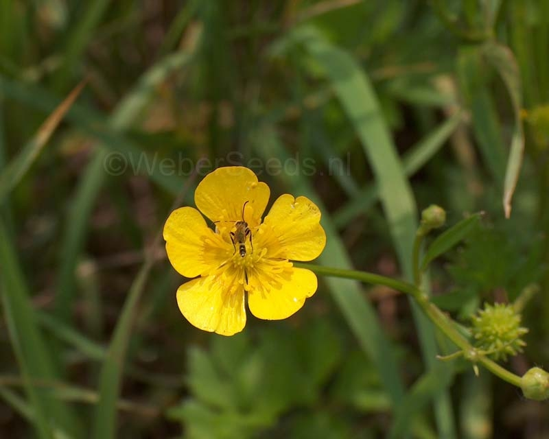 Ranunculus acris, Scherpe boterbloem