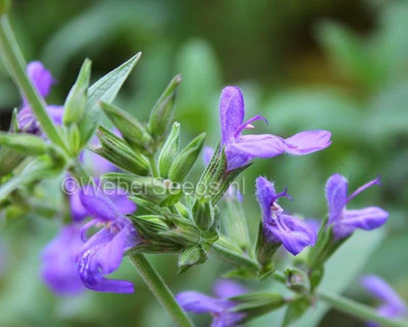 Salvia lavandulifolia, Spanish Sage