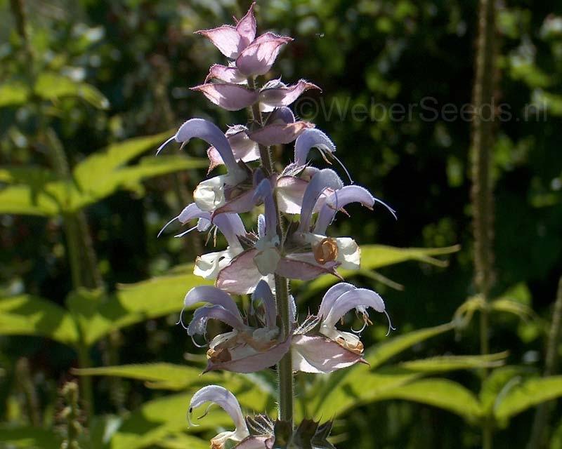 Salvia sclarea, Muskatellersalbei