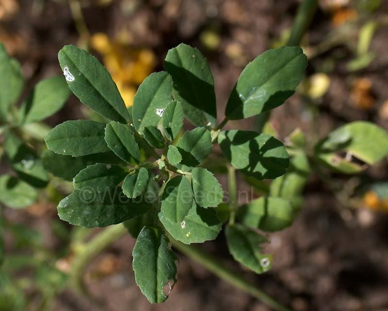 Trigonella foenum-graecum, Fenugreek